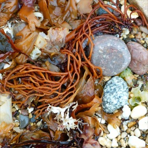 Multicoloured seaweeds on the strandline