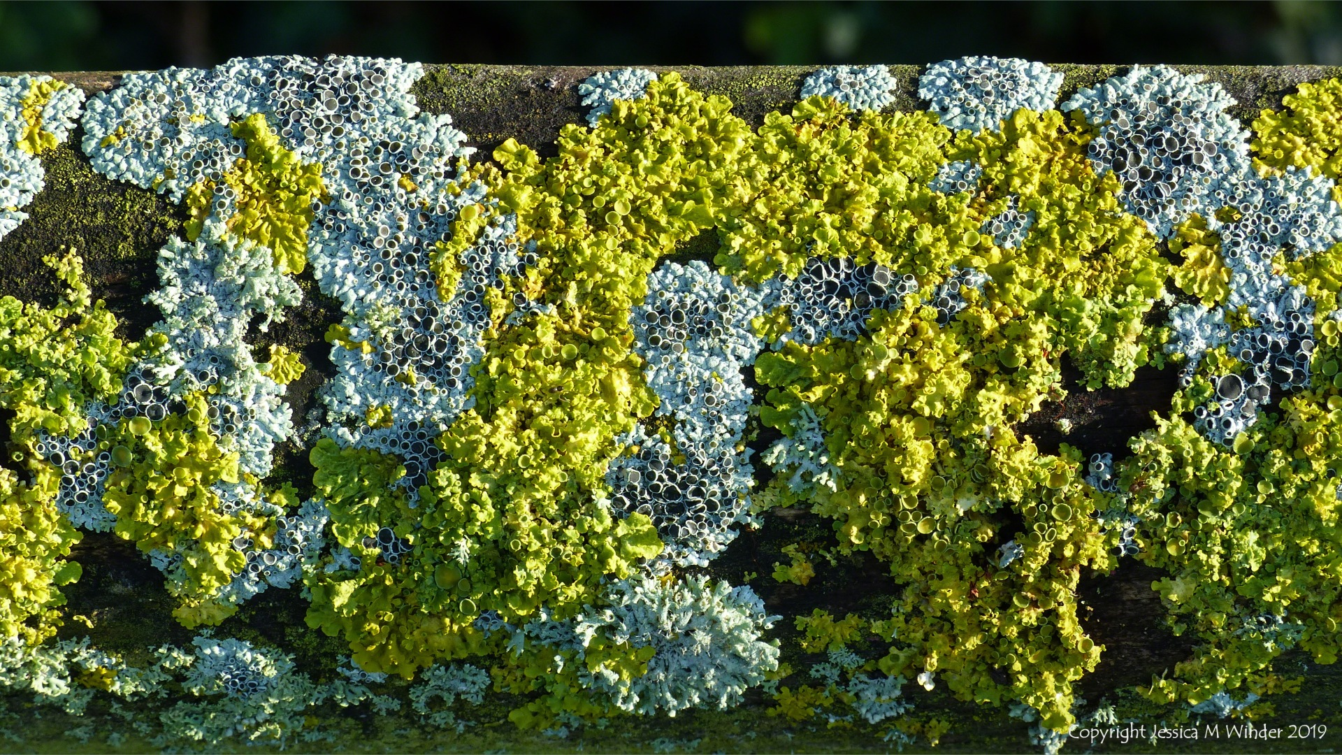 Colonies of lichen on a fence post