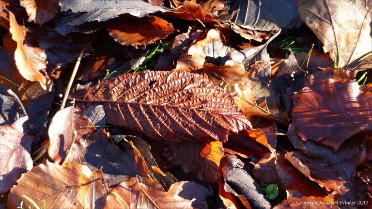 Dead horse chestnut and beech leaves
