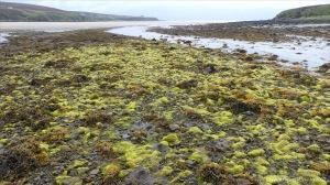 Filamentous algae at Waulkmill Bay