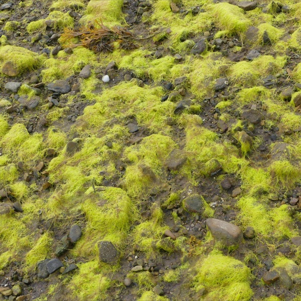 Filamentous algae at Waulkmill Bay