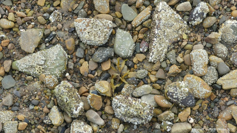 Barnacles growing on beach stones and pebbles