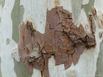 Natural pattern and texture in plane tree bark