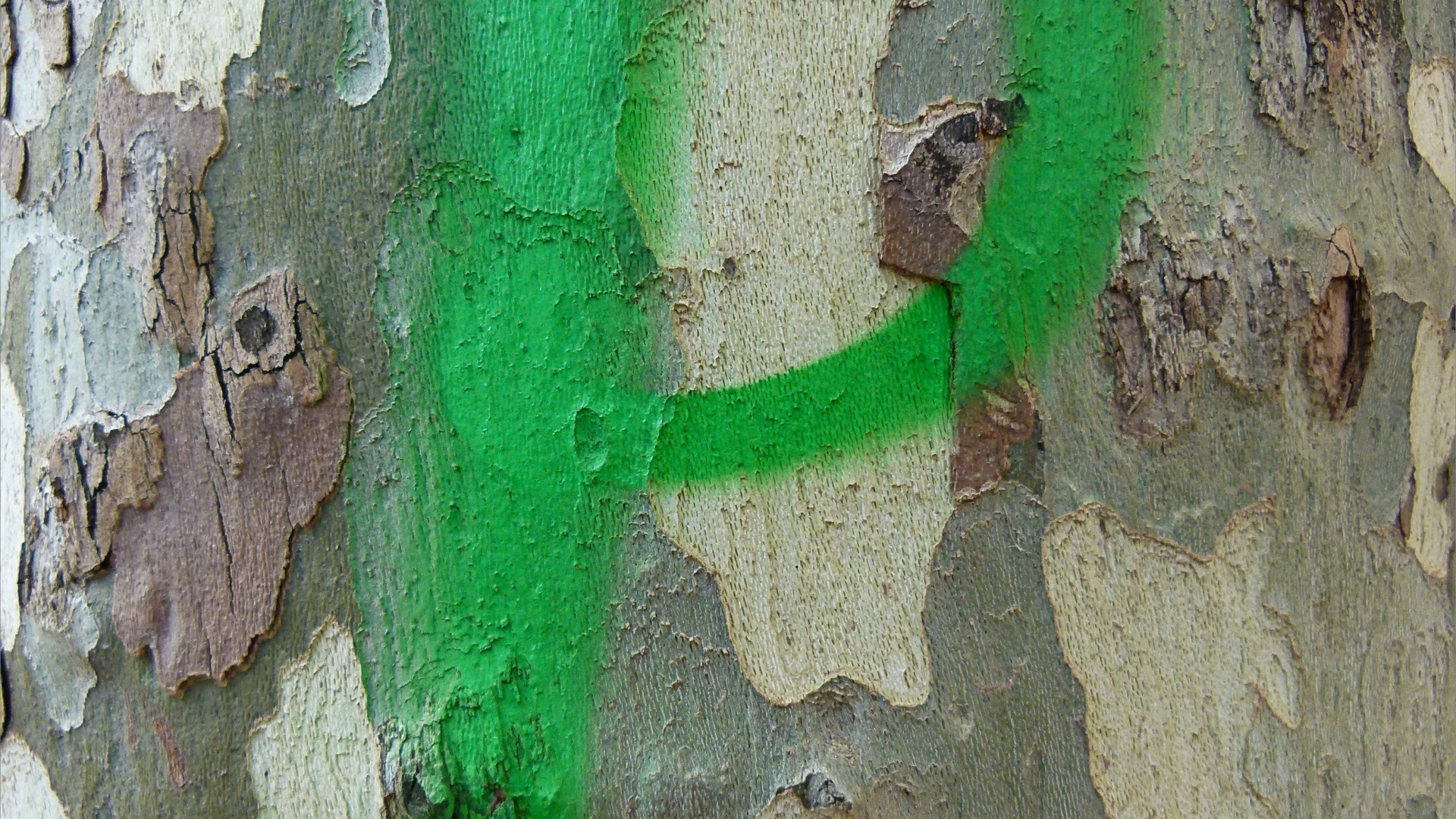 Green spray-paint graffiti on plane tree bark