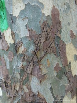 Graffiti on plane tree bark