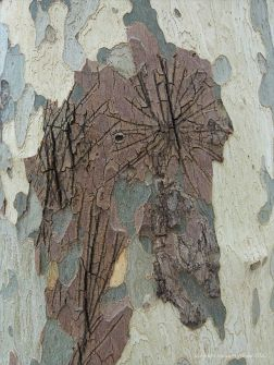 Knife mark graffiti on plane tree bark