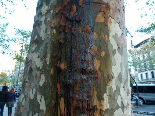 Weeping sap on plane tree bark