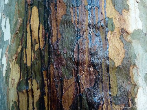 Weeping sap on plane tree bark