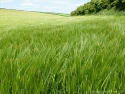 Barley growing in the field
