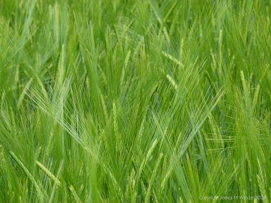 Barley growing in the field