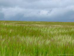 Barley field view