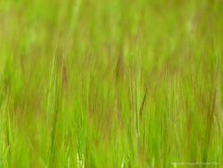 Detail of ripening barley