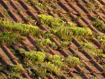 Yellow stonecrop on a terracotta roof