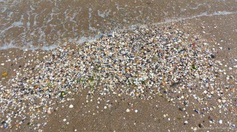 Seashells on the strandline at Swansea Bay