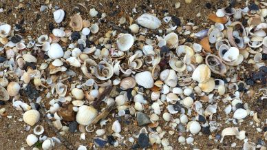 Seashells on the strandline at Swansea Bay