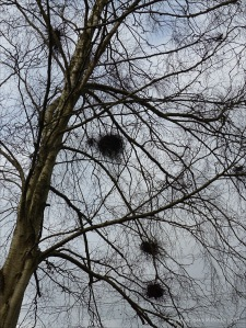 Witches Broom galls on bare tree