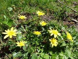 Yellow flowers of Lesser Celandine