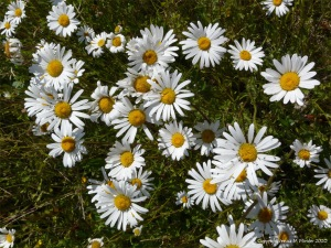 Oxeye Daisies in the British countryside