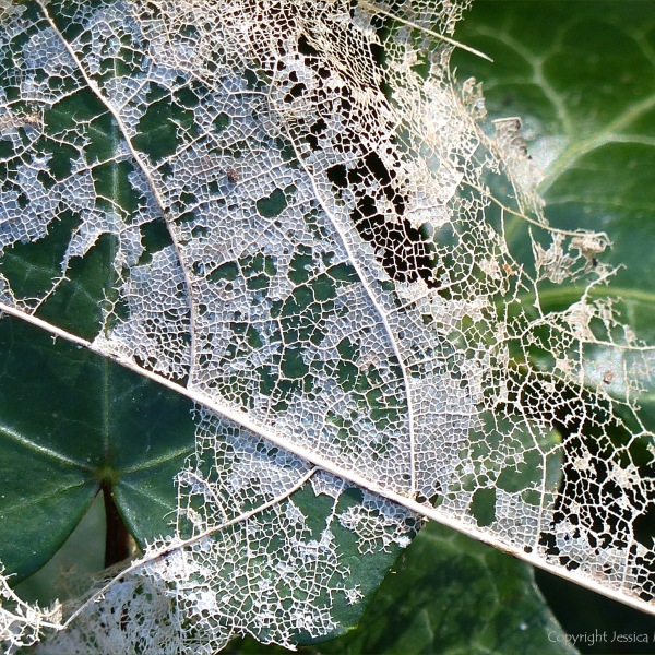 White skeletonised leaves