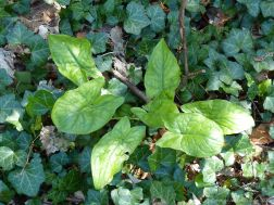 Leaves of Cuckoo Pint (Lords-and-Ladies)