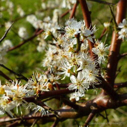 Blackthorn blossoms
