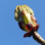 Horse chestnut tree sticky buds opening