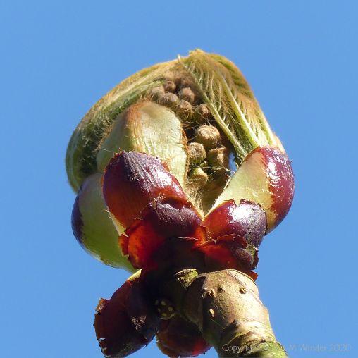 Horse chestnut tree sticky buds opening