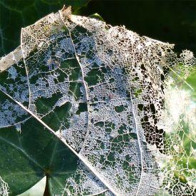 White skeletonised leaves