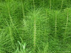 Horsetails (Equisetum)