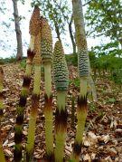 New shoots of Horsetails (Equisetum)