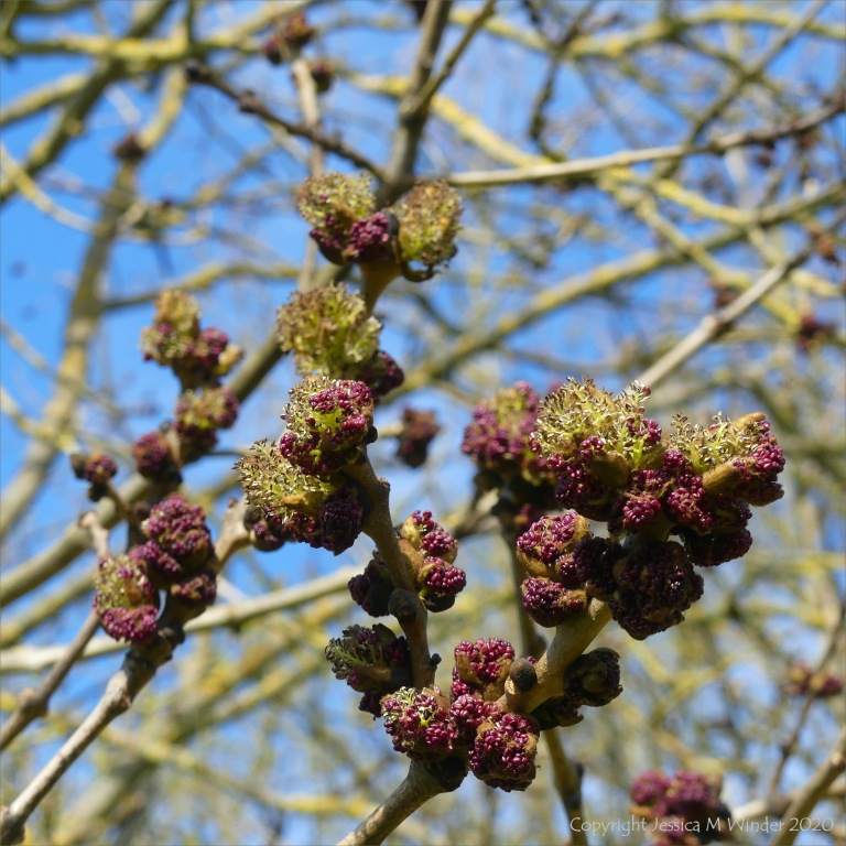 Flowers opening on an ash tree