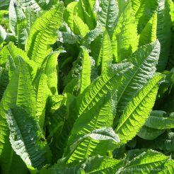 Teasel leaves