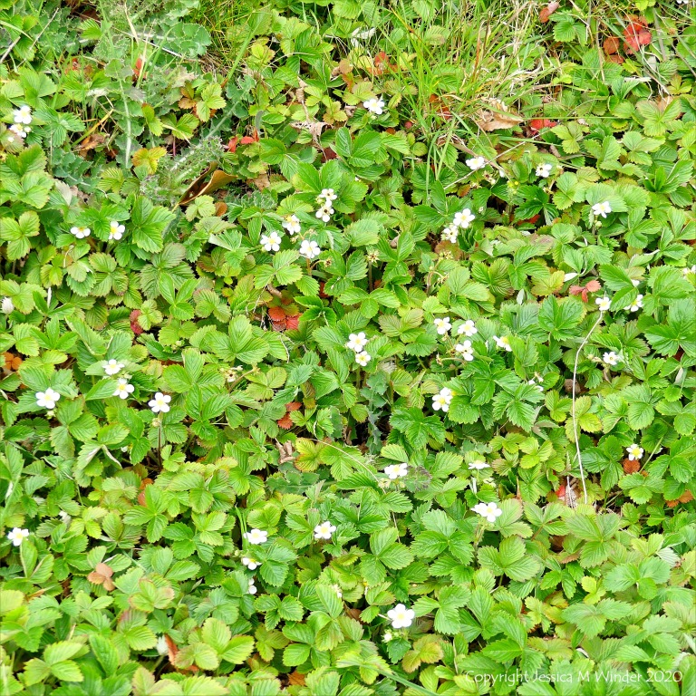 Wild strawberry flowers and leaves