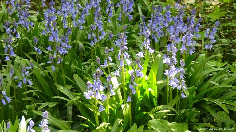 Bluebells in Charlton Down