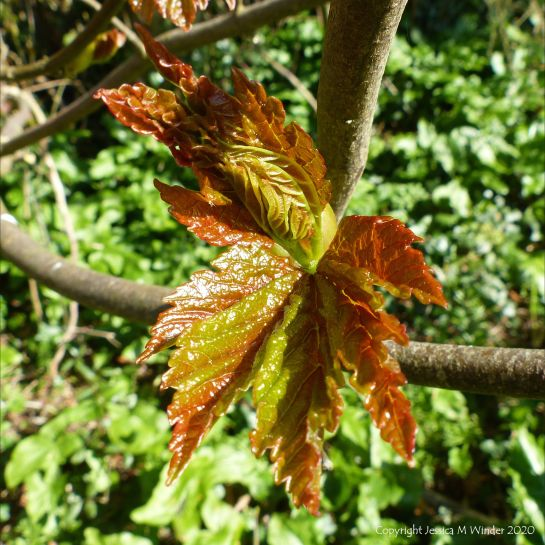 New leaves on Sycamore