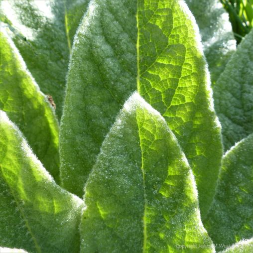 Mullein leaves on a dewy March morning