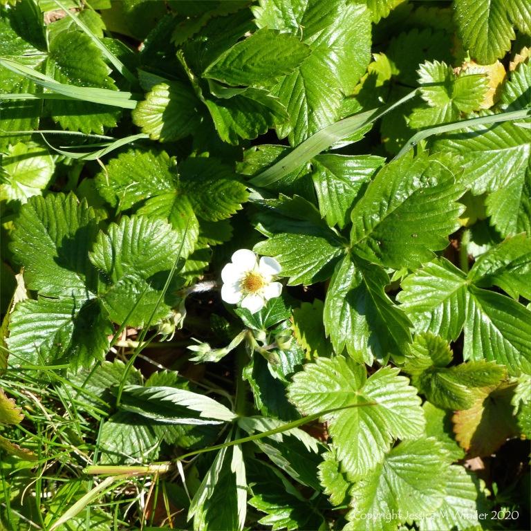 Wild strawberry plants with single flower