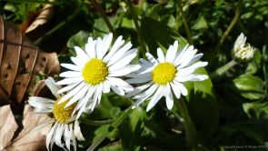 Common daisies