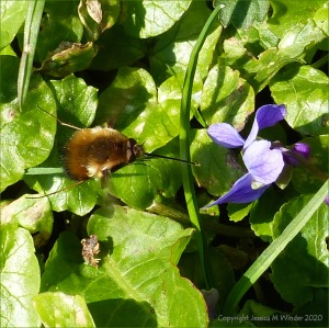 Bee-fly and violets