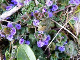 Ground ivy flowers