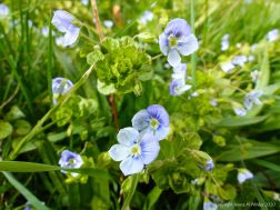 Small pale blue flowers of wild Speedwell