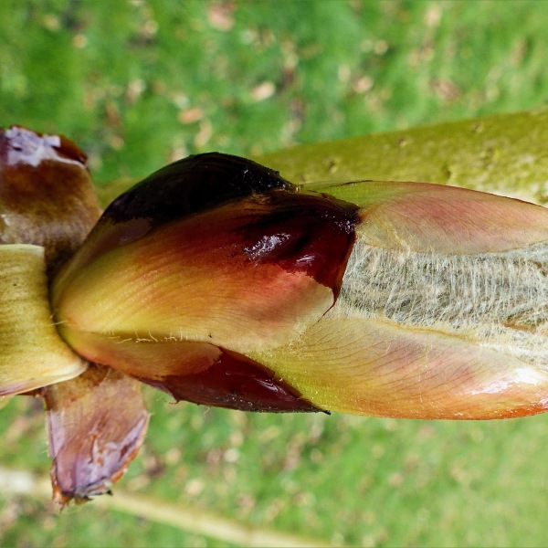 Horse chestnut tree sticky bud just beginning to open
