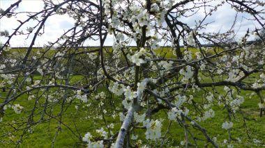 Victoria plum blossoms
