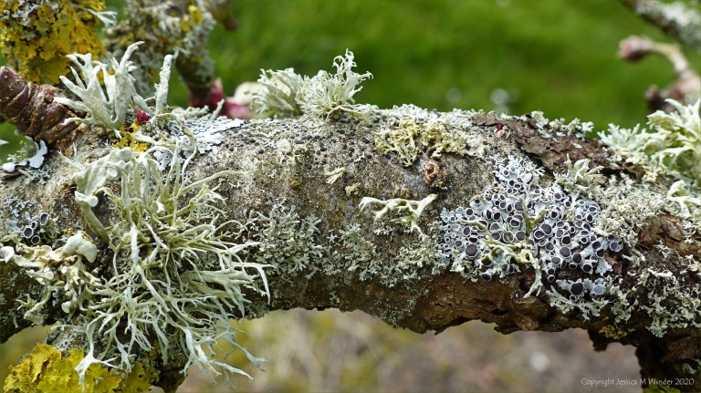 Lichens on an apple tree