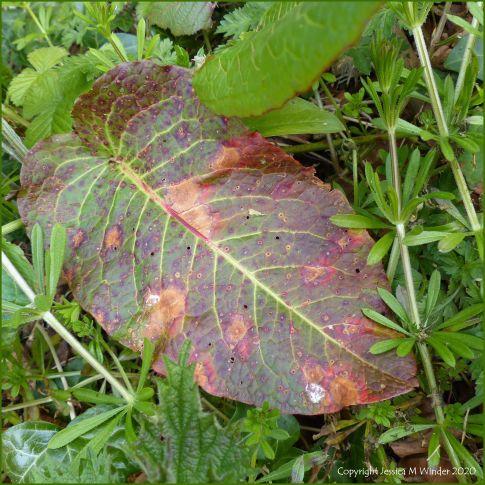 Dock leaves (Rumex obtusifolius) with plant virus