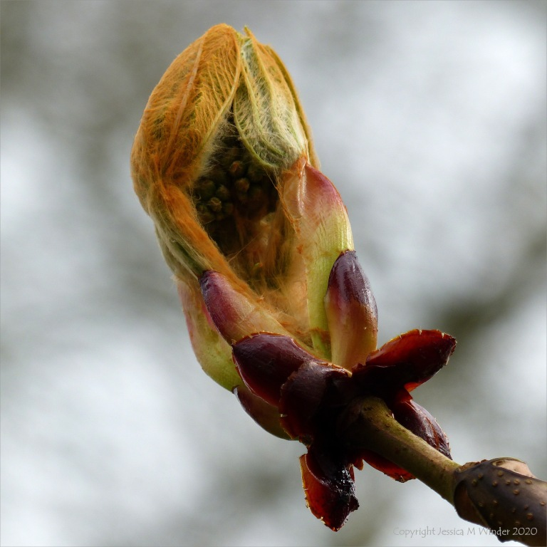 Horse chestnut leaves opening