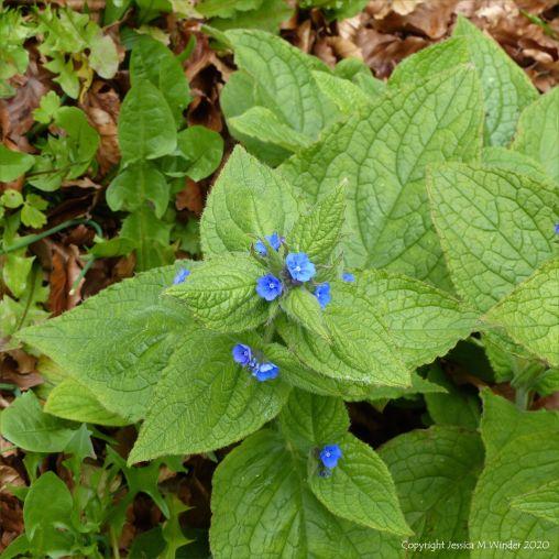 Green Alkanet flowers