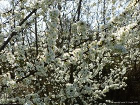 Blackthorn or Sloe blossoms