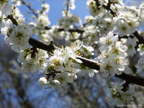 Blackthorn or Sloe blossoms