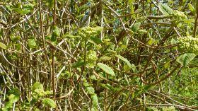 Wayfaring-tree